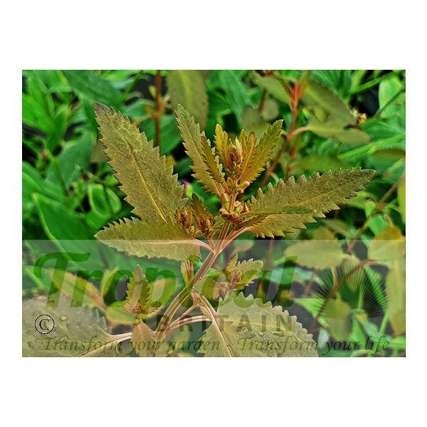Haloragis erecta 'Wellington Bronze'