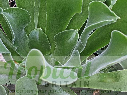 Aeonium canariense var. virgineum