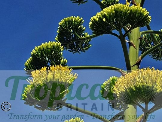 Agave americana - inflorescence