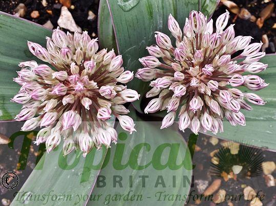 Allium karataviense - flower buds before they open
