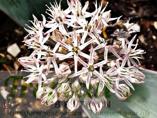 Allium karataviense - bee magnet