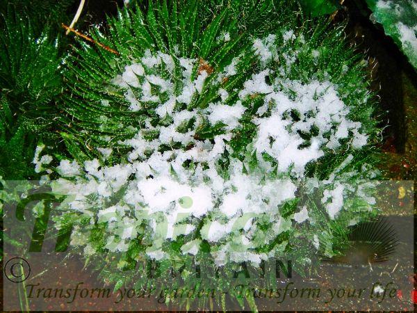 Aloe aristata - a very tough plant ...