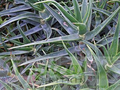 Aloe striatula - a bit of a rambler