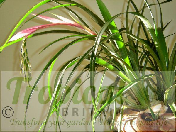 Billbergia nutans flowering in an old terracotta oil lamp - an ideal houseplant
