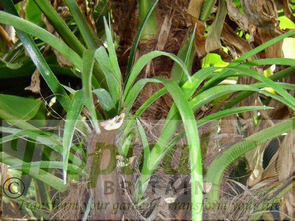 Billbergia nutans - epiphytic in a Trachycarpus trunk