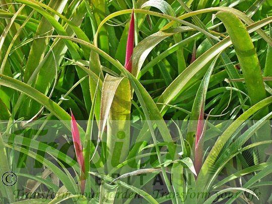 Billbergia nutans - just starting to flower