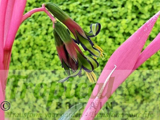 Billbergia nutans - flowering