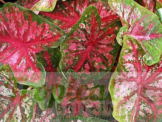 Caladium bicolor 'Tapestry'