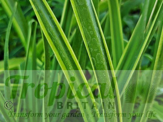 Camassia leichtlinii 'Sacajawea' - variegated foliage
