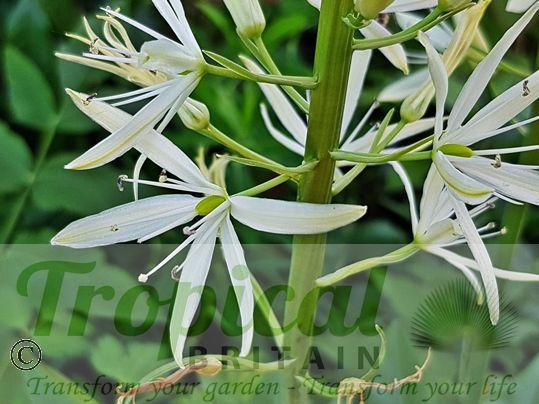 Camassia leichtlinii 'Sacajawea'