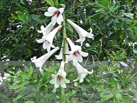 Cardiocrinum giganteum