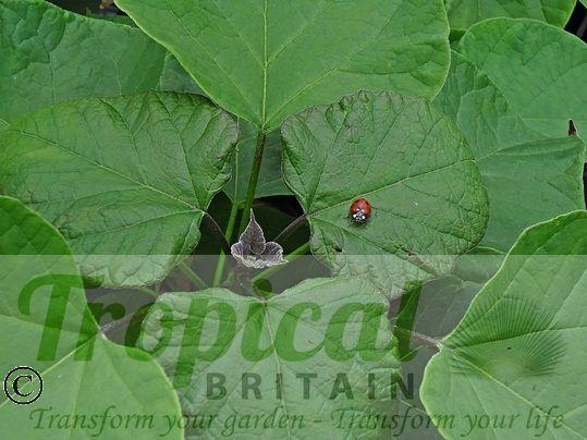 Catalpa bignonioides - young foliage (and guest)