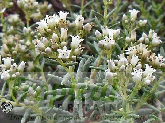 Crassula sarcocaulis 'Alba'
