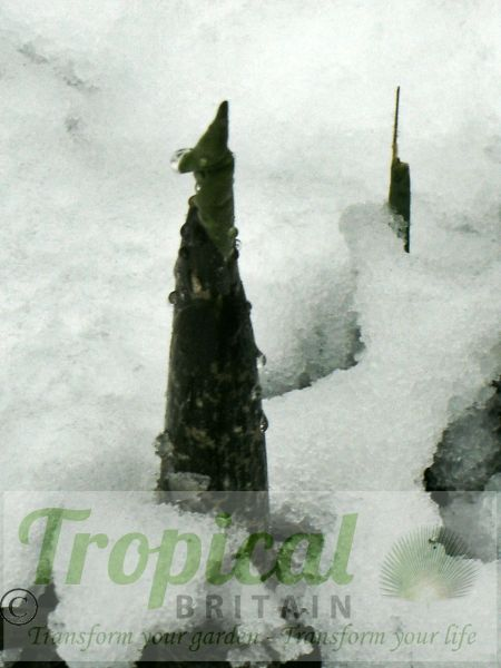 Dracunculus vulgaris - strong shoots pushing through a late snow