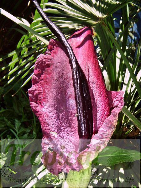 Dracunculus vulgaris - the Dragon Lily