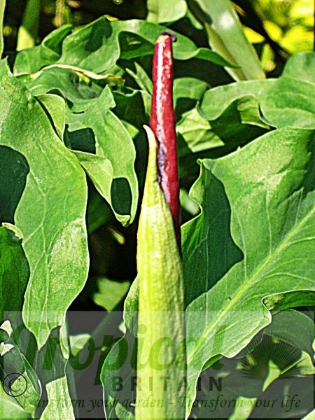 Dracunculus vulgaris - ready to unfold