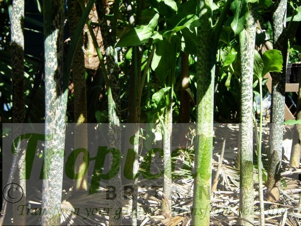 Dracunculus vulgaris - pseudostems
