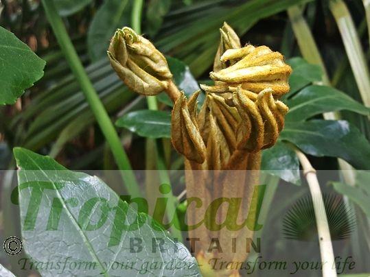 Fatsia japonica - new growth