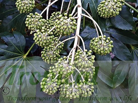 Fatsia japonica - seedpods in late February