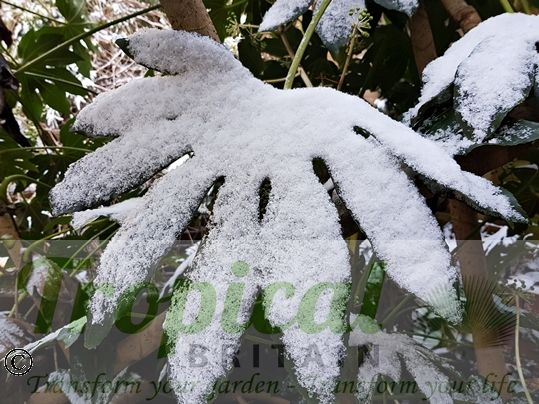 Fatsia japonica in the snow