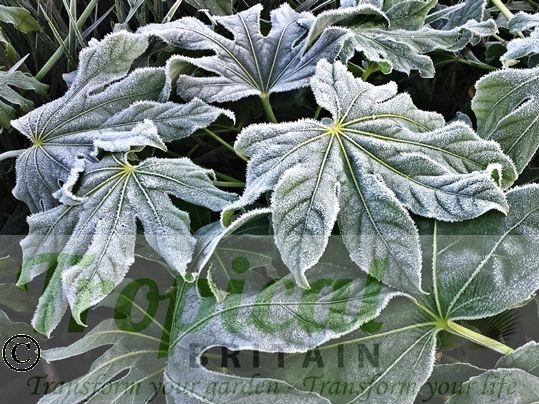 Fatsia japonica - frost hardy