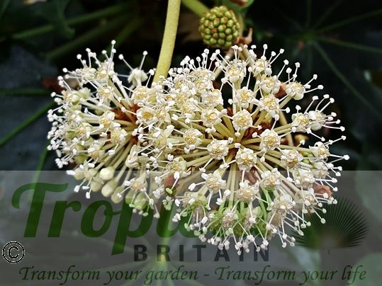 Fatsia japonica flowers - a magnet to bees and bumblebees in the autumn