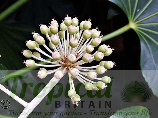 Fatsia japonica - seedpods developing