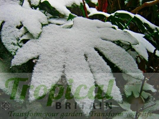 Fatsia japonica - snow hardy