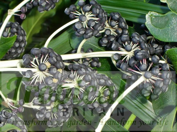 Fatsia japonica - ripe seedpods