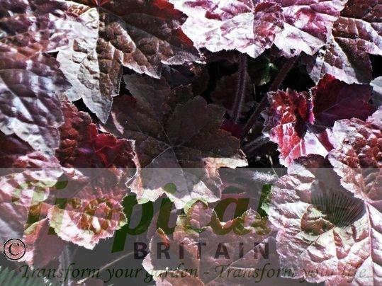 Heuchera  villosa 'Palace Purple'