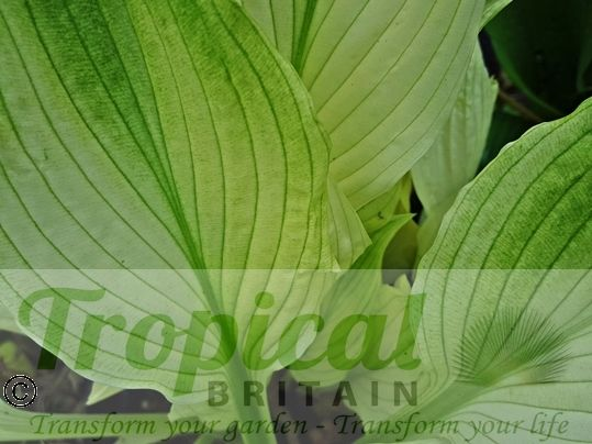 Hosta 'White Feather' - green chlorophyll appearing...