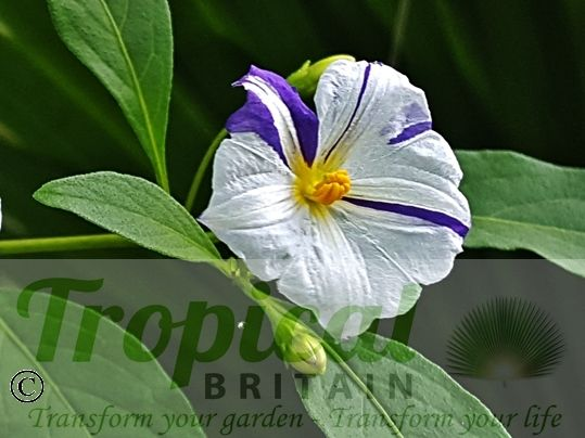 Lycianthes rantonnetii 'Alba' - blue/purple colouration of the blue-flowering type species showing through