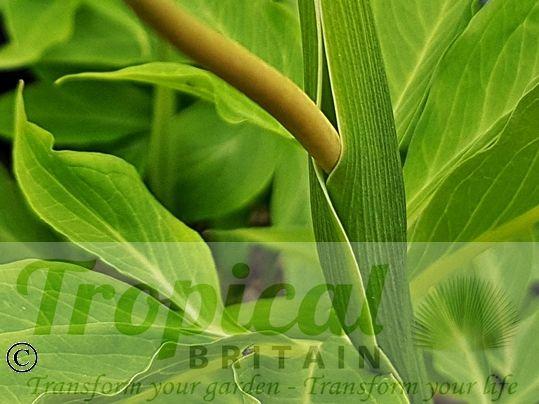Pinellia pedatisecta