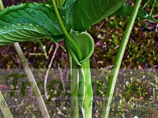 Pinellia tripartita