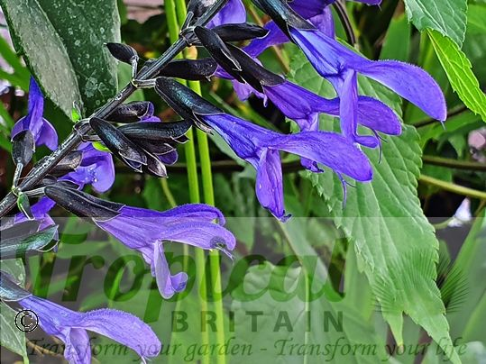 Salvia guaranitica 'Black and Blue'