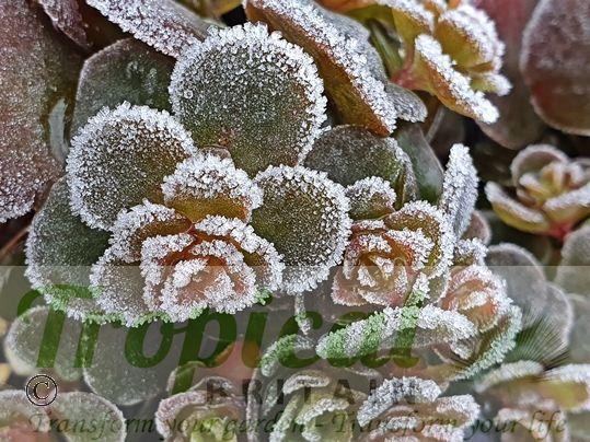 Sedum makinoi - frost hardy