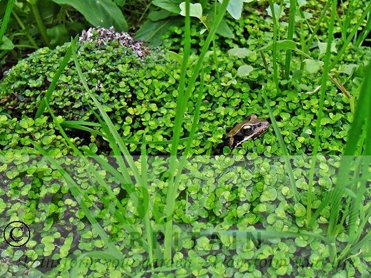 Soleirolia soleirolii - with special guest appearance of Rana temporaria...plus a few weeds...
