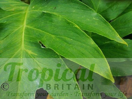 Spathantheum orbignyanum