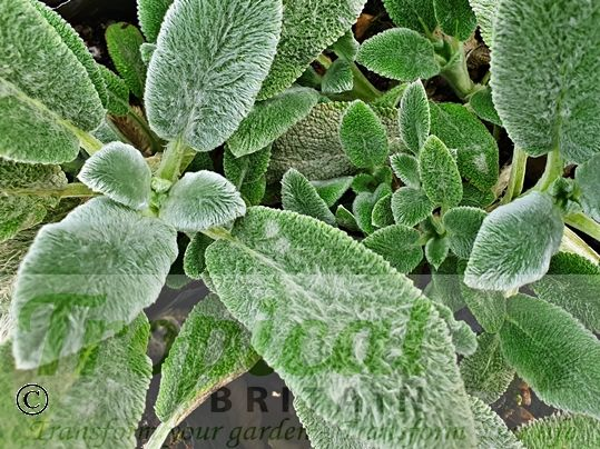 Stachys byzantina 'Silver Carpet' - new growth is more green