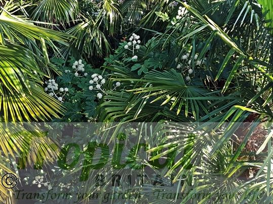Trachycarpus fortunei and Fatsia japonica from above
