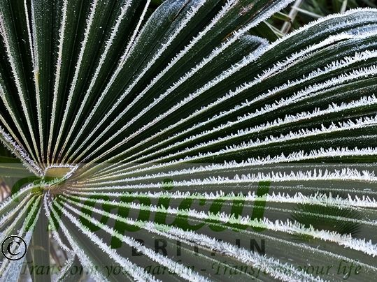 Trachycarpus fortunei - frost hardy