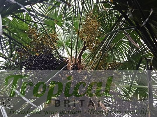 Trachycarpus fortunei - a dioecious palm, this is a female Trachycarpus with two years of seeds visible