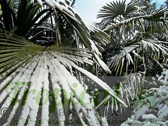 Trachycarpus fortunei - hardy in the snow