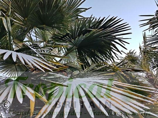 Trachycarpus fortunei in the snow