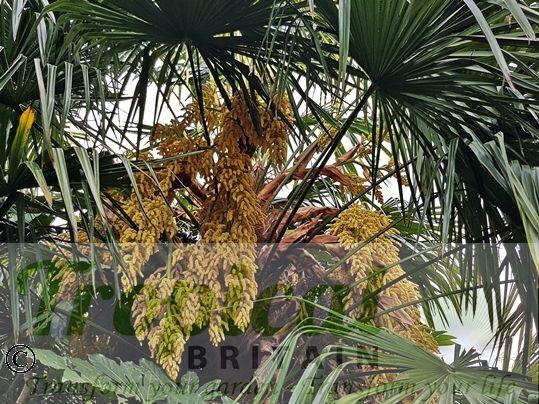 Trachycarpus fortunei - flowers