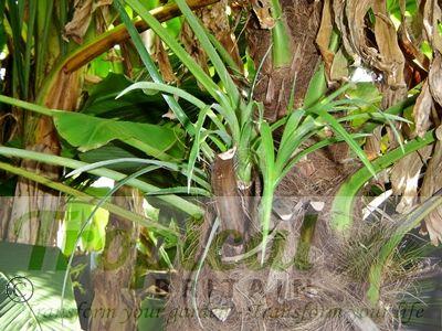 Trachycarpus fortunei - with epiphytic Billbergia nutans