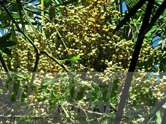 Trachycarpus fortunei - seeds