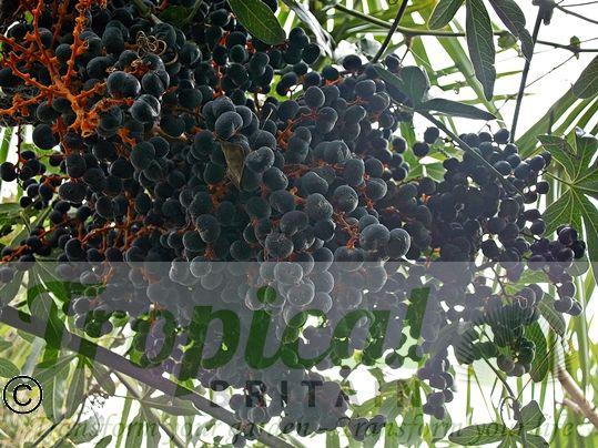 Trachycarpus fortunei - ripe seeds
