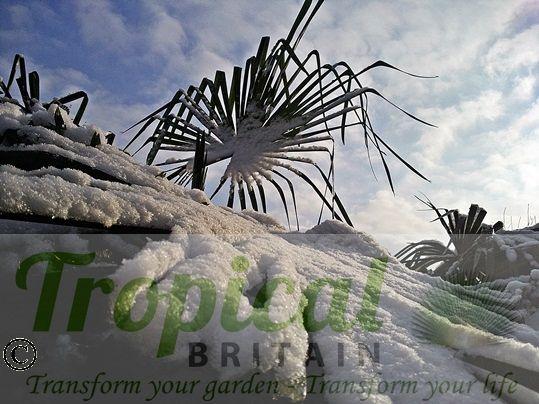 Trachycarpus fortunei - snow hardy