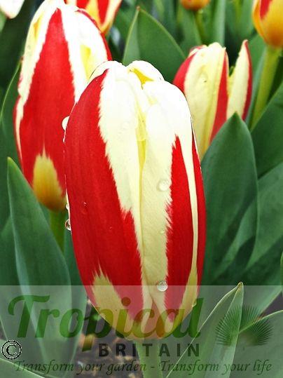 Tulipa kaufmanniana - blooms before opening